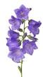 eight violet bellflower blooms on green stem