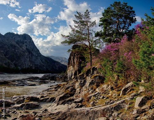 Tuinposter Chocoladebruin Russia. The South Of Western Siberia, spring flowers of the Altai mountains. Rhododendron