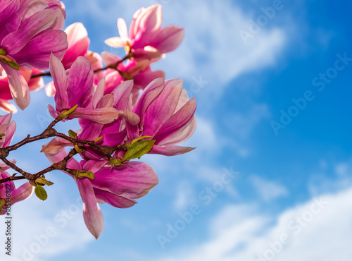 magnolia-flowers-branch-on-a-blue-sky-background