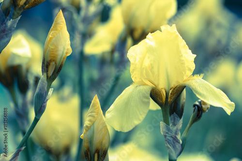 Fotobehang Iris Yellow iris flower on a green background
