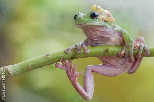 Aluminium Kikker Dumpy Frog and Golden Frog
