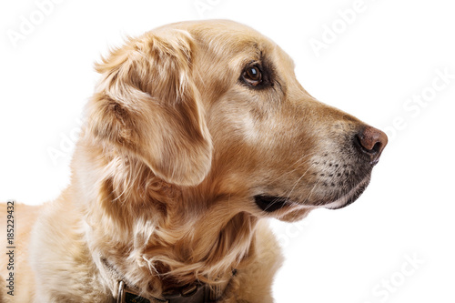 Beautiful Golden Retriever Model White Background Buy Photos Ap
