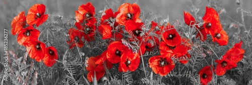 panorama with field poppies - 185236277