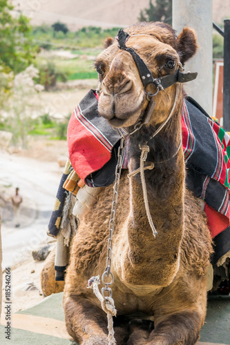 Fotobehang Kameel Camel smile