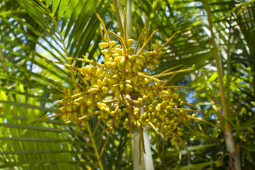 Date fruits and palm