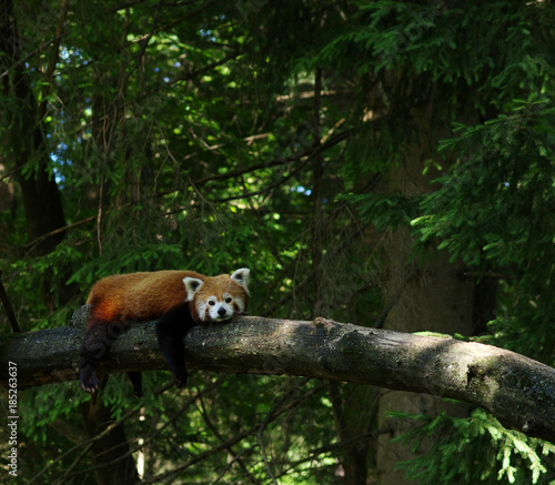 Fotobehang Panda red panda in a tree