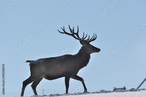 Aluminium Hert Deers deerskin walking in the winter on the snow