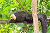 white-faced saki while resting on a tree in a forest - 185271898