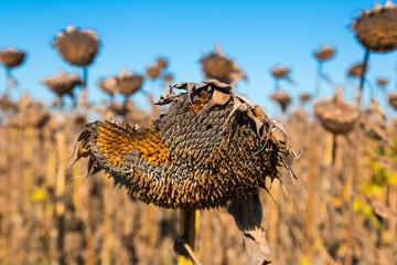 Ripened sunflowers