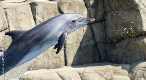 Fototapeta single jumping bottlenose dolphin
