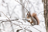 curious red squirrel sitting on tree branch on blurred snowy winter park background