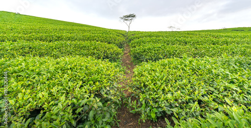 Fotobehang Pistache Panrama green tea hill in the highlands in the morning. This tea plantation existed for over a hundred years old and the largest tea supply in the region and exporting