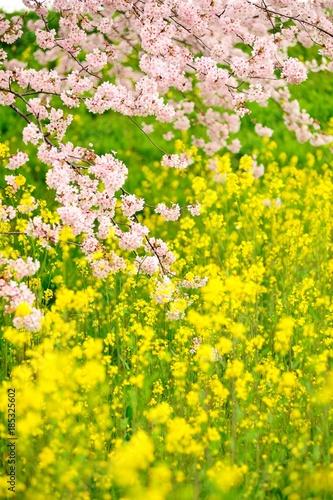 Foto op Plexiglas Geel 菜の花畑と桜