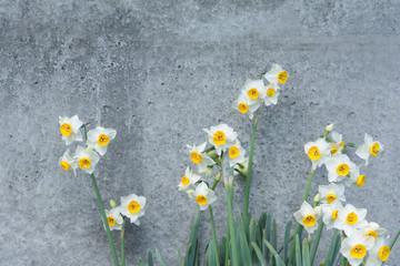 水仙の花 コンクリートの壁面