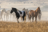 Herd of Wild Horses in the Desert