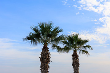Two palm trees under Cyprus blue sky with few fluffy clouds. Close up view.