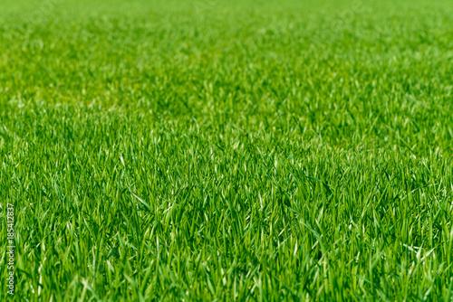 Background of a green grass. Green grass texture - 185412837