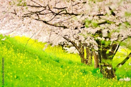 Keuken foto achterwand Lime groen 菜の花と桜