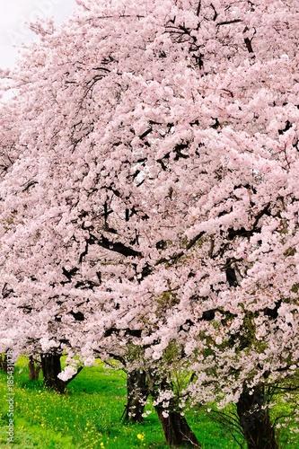 Foto op Plexiglas Lichtroze 満開の桜