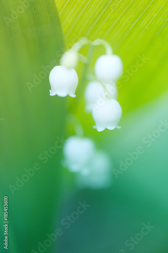 Fotobehang Lelietjes van dalen May white lily of the valley (Convallária majális ) in cold green tones. Spring Flowers