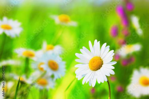 Chamomile among flowers - 185454282