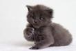 small gray kitten maine coon