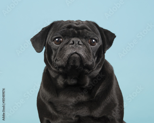 Portrait of a black pug looking at the camera on a blue background - 185489876