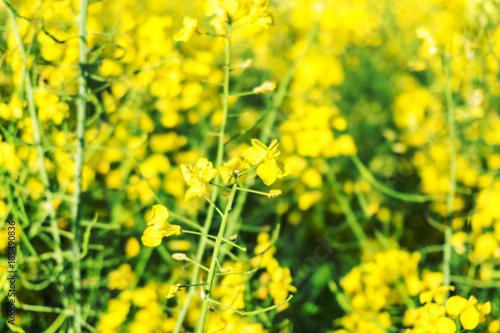 Foto op Plexiglas Geel Closeup of rape field, flowering rapeseed. Blooming field on a hot summer day. Bright Yellow Rape Oil.