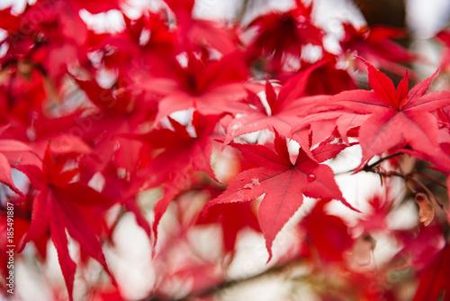 Aluminium Rood traf. Red Maple leaves, Japan autumn season