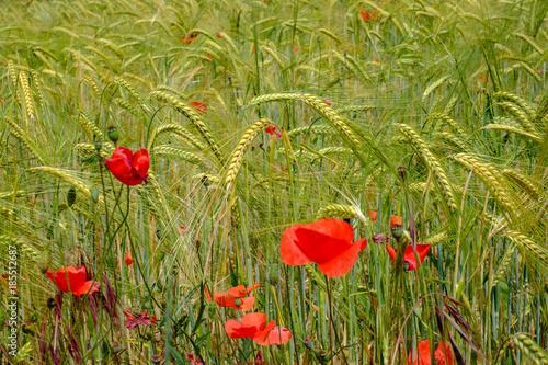 Champ de blé et fleurs de coquelicots au printemps Poster