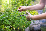 woman collects herbs, collect oregano using scissors, organic herbal garden  - 185522484