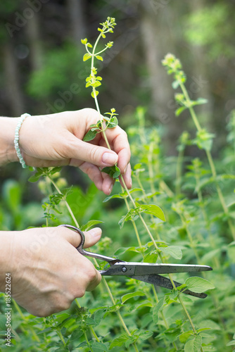 woman collects herbs, collect oregano using scissors, organic herbal garden