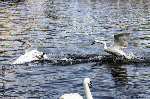 Swans swim and play in a water Poster