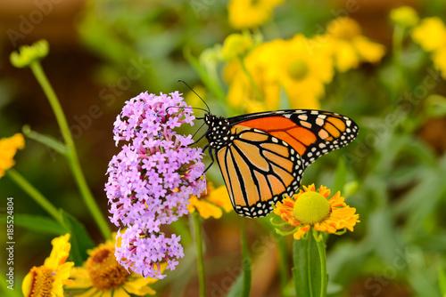 Deurstickers Vlinder Monarch Butterfly - A monarch butterfly feeding on pink flowers in a summer garden.