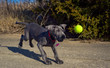 A young blue colored great Dane puppy attempts to catch a tennis ball in mid air