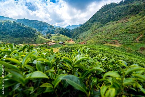 Landscape of tea plantation at Doi Angkhang Chiangmai northern Thailand - 185543265