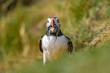 Puffin bird close up portrait