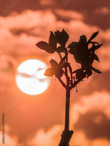 Fotobehang Koraal The silhouette of Plumeria flowers with the golden sky and sunset