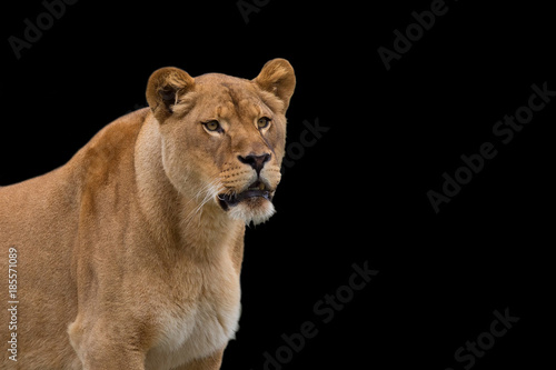 Fotobehang Leeuw Lioness on a black background, a portrait