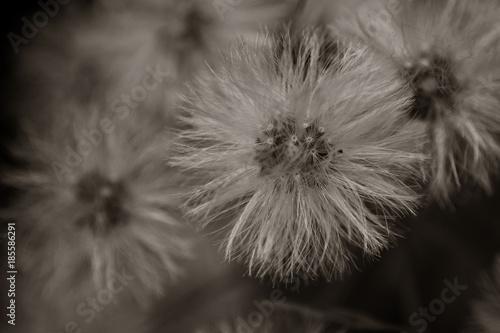 Aluminium Paardebloemen Végétaux Macro Noir et Blanc