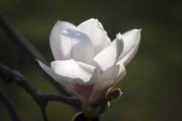 Magnolienbüten