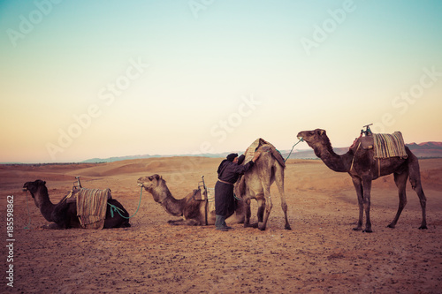 Camels on the sand dunes in the Sahara Desert. Morocco, Africa. - 185598862