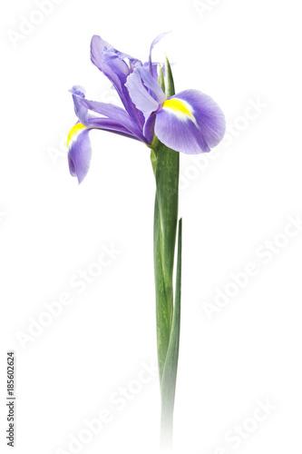 Fotobehang Iris iris aislado fondo blanco
