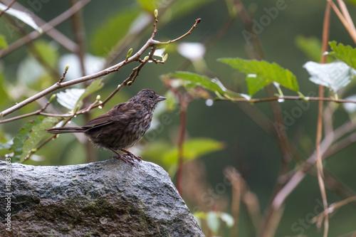 Foto op Plexiglas Canada Song sparrow (Melospiza melodia) in the rain at the Quinsam River Hatchery Trail