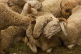 Pecore  - 185615455