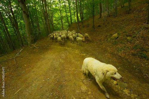 Il Cane Pastore E Il Gregge Di Pecore Buy Photos Ap Images