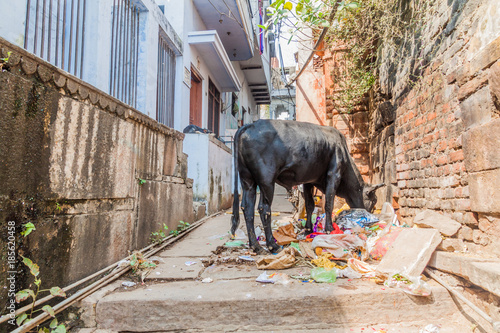 Poster Smal steegje Cow eats a garbage in a narrow alley in Varanasi, India