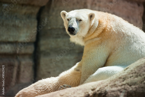 Fotobehang Ijsbeer The polar bear is a carnivorous bear whose native range lies largely within the Arctic Circle