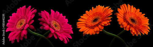 Aluminium Gerbera Pink or red gerbera with stem isolated on black