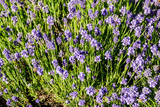 Lavender flowers in closeup - 185641204